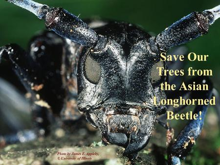 Photo by James E. Appleby, University of Illinois Save Our Trees from the Asian Longhorned Beetle! Photo by James E. Appleby, © University of Illinois.