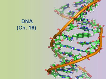 DNA (Ch. 16) Brief History Many people contributed to our understanding of DNA – T.H. Morgan (1908) – Frederick Griffith (1928) – Avery, McCarty & MacLeod.