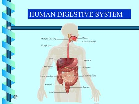 HUMAN DIGESTIVE SYSTEM. TARGET AUDIENCE AGE - 11 – 14 yrs. CLASSES - VI - VIII.
