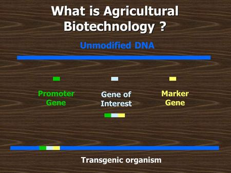 What is Agricultural Biotechnology ? Unmodified DNA Gene of Interest Promoter Gene Marker Gene Transgenic organism.