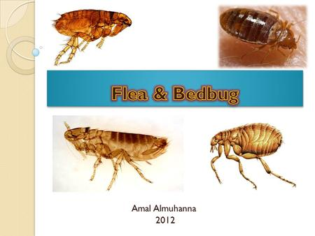 Amal Almuhanna 2012. Bed bugs (Cimex lectularius) Bedbugs are parasitic i nsects that feed on blood and prefer human blood, but will also feed on chickens.