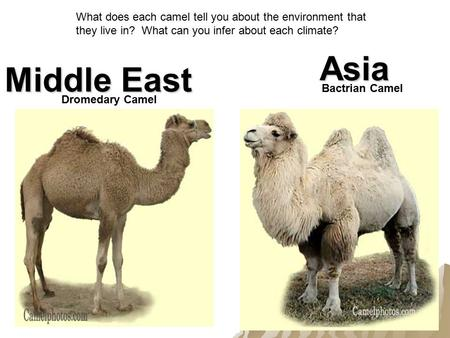 Dromedary Camel Bactrian Camel Middle East Asia What does each camel tell you about the environment that they live in? What can you infer about each climate?