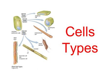 Cells Types. So what type of cells are there? Plant & Animal Cells This is a plant cell.