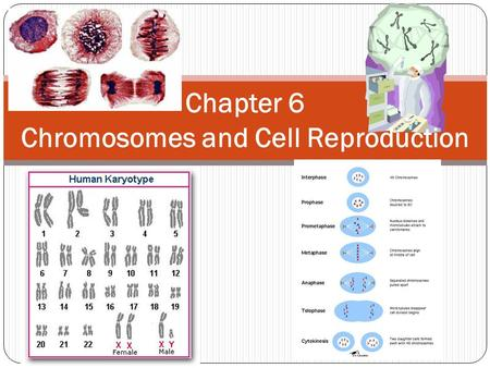 Chapter 6 Chromosomes and Cell Reproduction