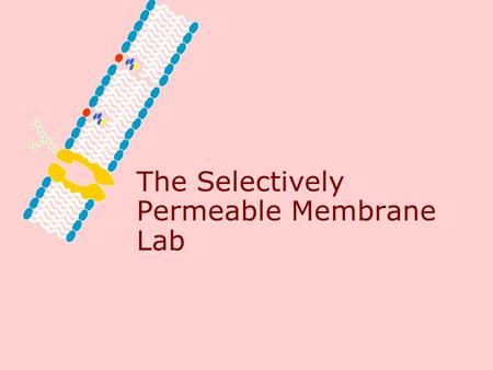 The Selectively Permeable Membrane Lab Problem What does selectively permeable mean?