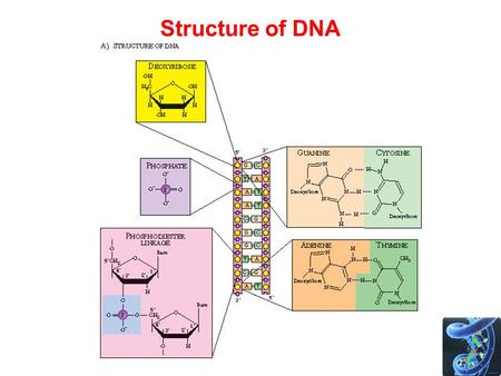 Structure of DNA. Polymerase Chain Reaction - PCR PCR amplifies DNA –Makes lots and lots of copies of a few copies of DNA –Can copy different lengths.