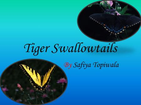 Tiger Swallowtails By Safiya Topiwala. Physical Description Their wingspan can be up to 4 to 8 inches. The males are yellow with black tiger stripes.