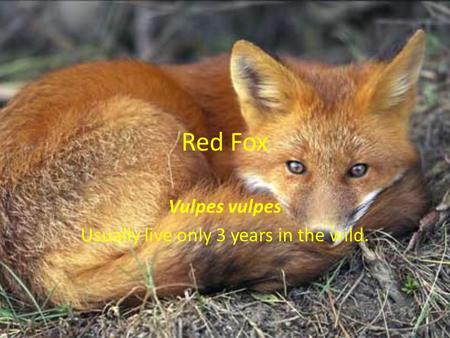 Red Fox Vulpes vulpes Usually live only 3 years in the wild.