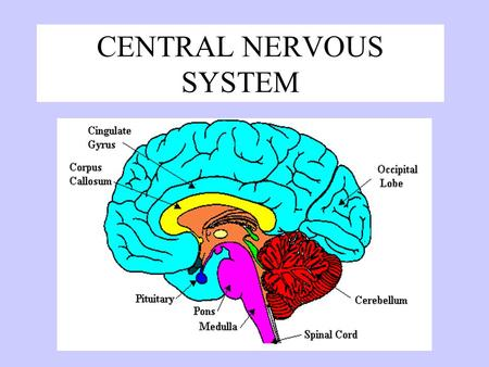 CENTRAL NERVOUS SYSTEM Brain Dominance Right Brain –non-verbal –Concrete –Holistic (big pic) –Intuitive –spontaneous Left Brain –Logical –Language –Verbal.