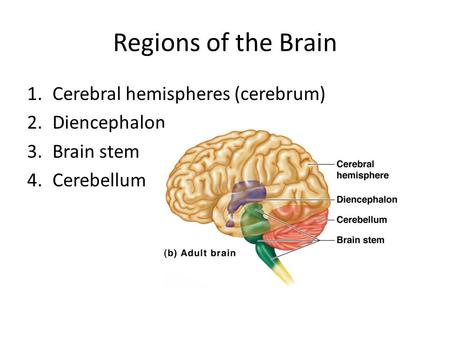 Central nervous system the brain ppt video online download regions of the brain cerebral hemispheres cerebrum diencephalon ccuart Images