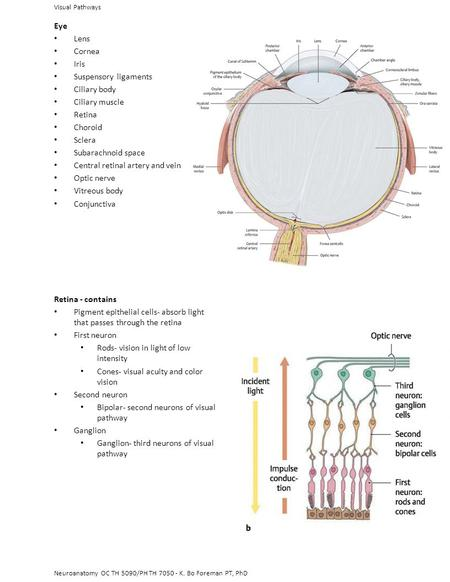 Central retinal artery and vein Optic nerve Vitreous body Conjunctiva