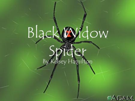 Black Widow Spider By Kelsey Hamilton. What to look for? The black widow is a medium-sized spider whose body is about a half- inch long. The name is derived.