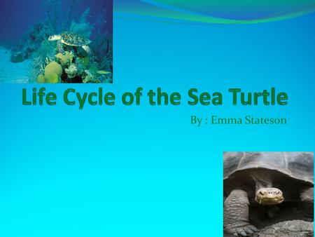 By : Emma Stateson. The Egg The first part of a sea turtles life cycle is the egg. Sea turtles can lay up to 200 eggs at a time. The eggs are laid on.