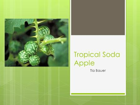 Tropical Soda Apple Tia Bauer. Tropical Soda Apple: Solanum viarum Duna  A perennial shrub  native to Brazil and Argentina  Has become a weed in other.