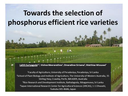 Towards the selection of phosphorus efficient rice varieties Lalith Suriyagoda 1,2, Vishna Weerarathne 1, Dinarathne Sirisena 3, Matthias Wissuwa 4 1 Faculty.