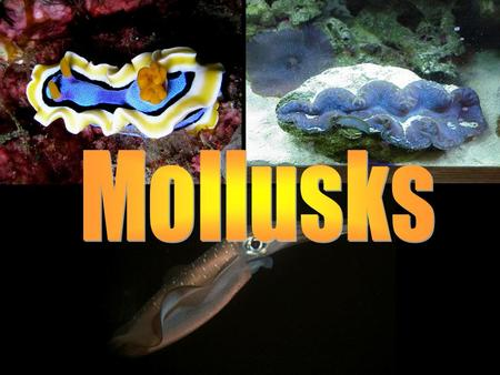 Mollusk Features Complete digestive system Bilateral symmetry Move on muscular foot 3 part body plan –A) Radula tongue-like organ to scrape food –B)