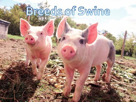 Terms to Know Scientific name for swine: Porcine Mature male swine: Boar Mature female swine: Sow Young female swine: Gilt Altered male swine: Barrow.