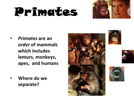 Primates Primates are an order of mammals which includes lemurs, monkeys, apes, and humans Where do we separate?