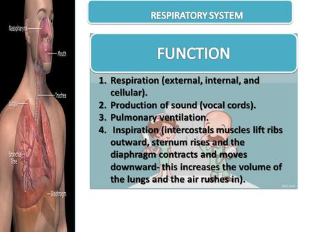 1.Respiration (external, internal, and cellular). 2.Production of sound (vocal cords). 3.Pulmonary ventilation. 4. Inspiration (intercostals muscles lift.