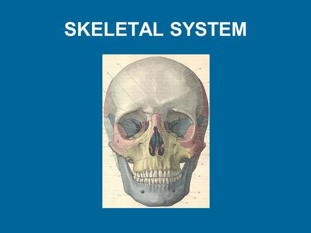 SKELETAL SYSTEM. Functions of Bones Support – hard framework that supports and anchors body – bones of legs act as pillars to Protection – fused bones.