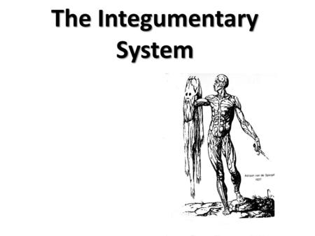 The Integumentary System. Integumentary System Hair Skin Nails.