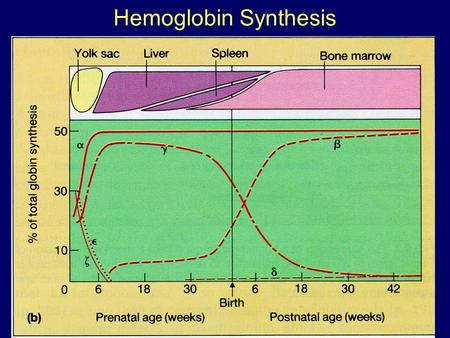 Hemoglobin Synthesis.  Chromosome 16Chromosome 11 25%  48% 1.5%0.5% 1.5%0.5% Hemoglobin synthesis.