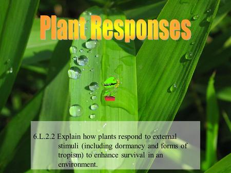 Plant Responses 6.L.2.2 Explain how plants respond to external stimuli (including dormancy and forms of tropism) to enhance.
