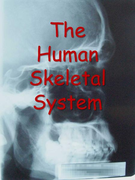 The Human Skeletal System. Skeletal (Anterior View)