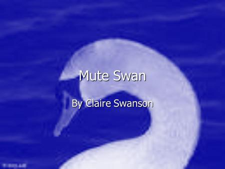 Mute Swan By Claire Swanson. The reproduction of mute swans The reproduction of mute swans The mating of mute swans is started in March and April That.