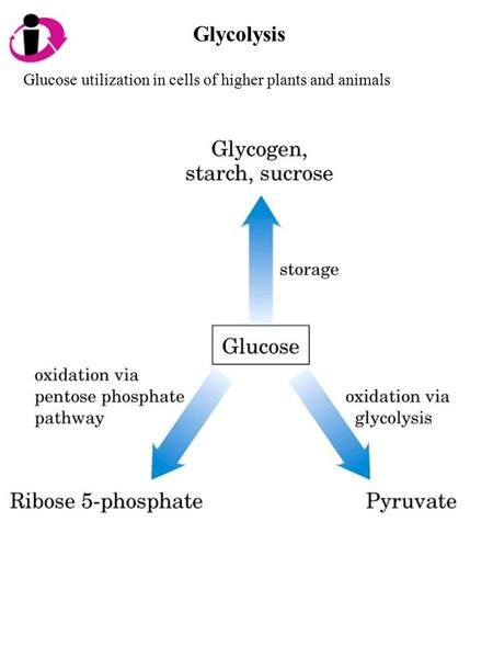 Glycolysis Glucose utilization in cells of higher plants and animals.