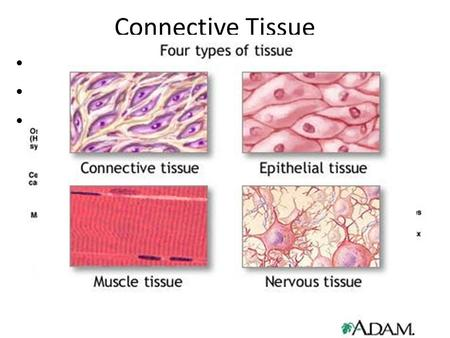 Connective Tissue Connects body parts