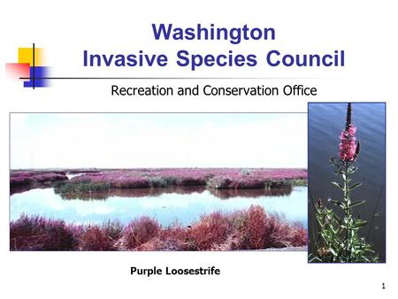 1 Washington Invasive Species Council Recreation and Conservation Office Purple Loosestrife.