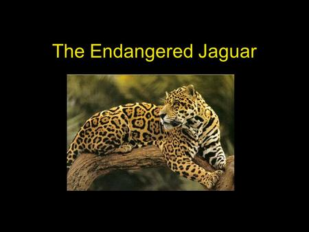 The Endangered Jaguar. Table of Contents Habitat Appearance Diet Raising Young Why is the Jaguar Endangered? Interesting Facts.