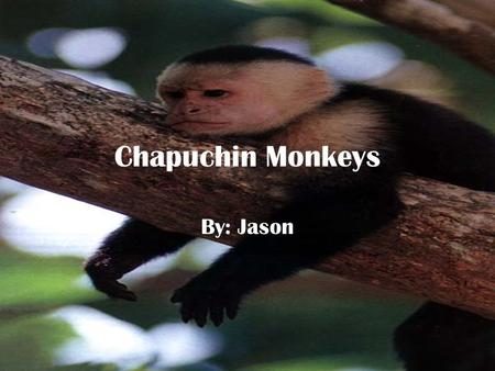 Chapuchin Monkeys By: Jason. Physical Traits The Capuchin monkeys thumbs and big toes are opposable There hands are like human hands And there tails are.