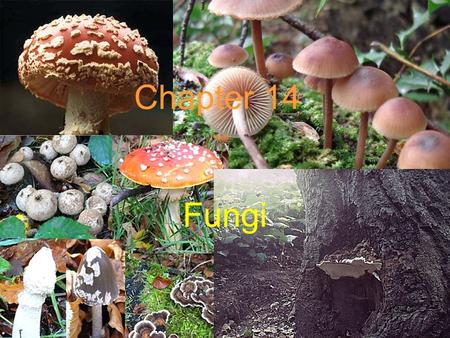 Chapter 14 Fungi Heterotrophic organisms once considered to be primitive or degenerate plants lacking chlorophyll.