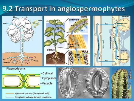 9.2 Transport in angiospermophytes