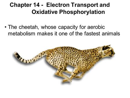 Chapter 14 - Electron Transport and Oxidative Phosphorylation The cheetah, whose capacity for aerobic metabolism makes it one of the fastest animals.