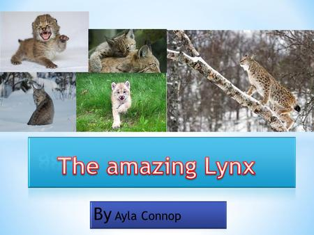 Lynx are hard to spot, they often hide behind tree stumps or rocks when catching prey. Lynx are awesome climbers, jumpers and swimmers. The lynx can.