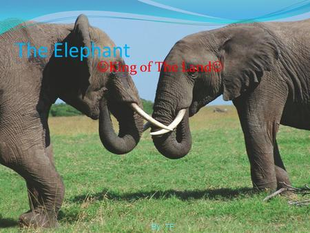 The Elephant King of The Land By: TF.