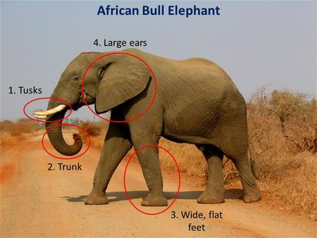1. Tusks 2. Trunk 4. Large ears 3. Wide, flat feet African Bull Elephant.