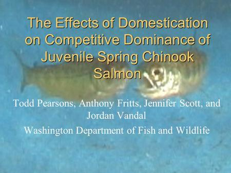 The Effects of Domestication on Competitive Dominance of Juvenile Spring Chinook Salmon Todd Pearsons, Anthony Fritts, Jennifer Scott, and Jordan Vandal.