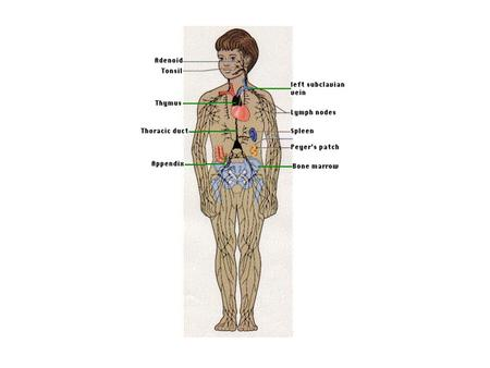 Lymphoid (or lymphatic) tissues, which mainly consist of dense accumulations of lymphocytes, are widely distributed in the body. The lymphocytes.