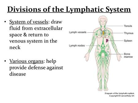 Divisions of the Lymphatic System System of vessels: draw fluid from extracellular space & return to venous system in the neck Various organs: help provide.