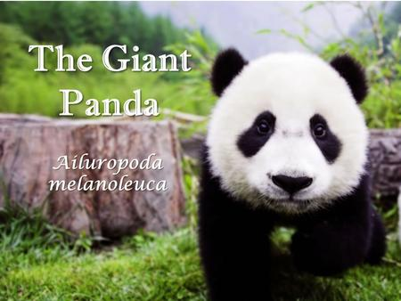 The Giant Panda Ailuropoda melanoleuca. Diet 99% Bamboo 1% small insects (usually living on bamboo) Apx. 20 to 45 lbs (9-20 kg) of bamboo shoots a day.
