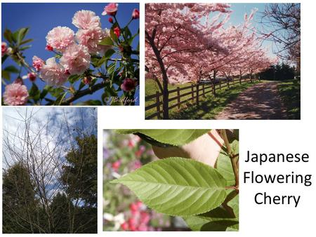 Japanese Flowering Cherry Jap Deciduous Trees Plant ID Week 1.