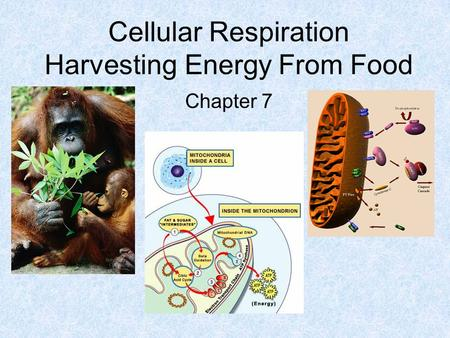 Cellular Respiration Harvesting Energy From Food