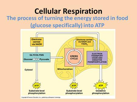 Cellular Respiration The process of turning the energy stored in food (glucose specifically) into ATP.