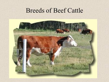 Breeds of Beef Cattle. Terms Breed - group of animals related by decent from common ancestors, with similar characteristics Bull - a male Cow - a female.