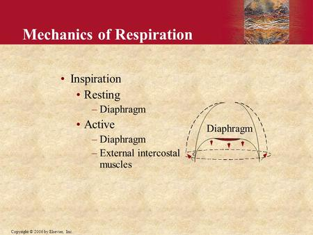 Copyright © 2006 by Elsevier, Inc. Mechanics of Respiration Inspiration Resting –Diaphragm Active –Diaphragm –External intercostal muscles Diaphragm.