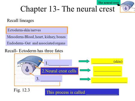 Chapter 13- The neural crest Ectoderm-skin/nerves Endoderm- Gut and associated organs Mesoderm-Blood, heart, kidney, bones Recall lineages Recall- Ectoderm.